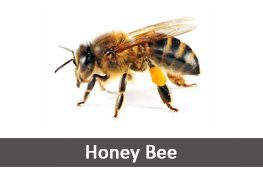 Honey Bee Pest Control Services